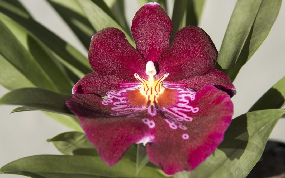 Orquídeas en vuestra boda, ¿Que significan según su color?